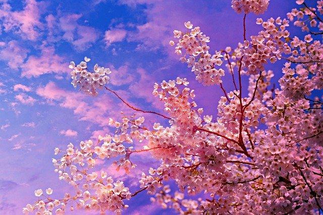 kvetoucí třešeň